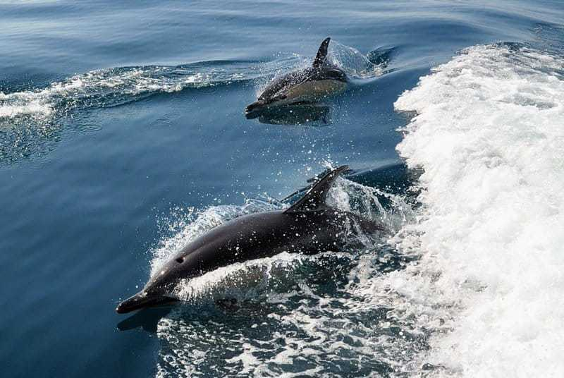 Dolphin surfing on the waves from the Lagos RIB