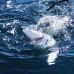 Shark grabbing the bait Vilamoura