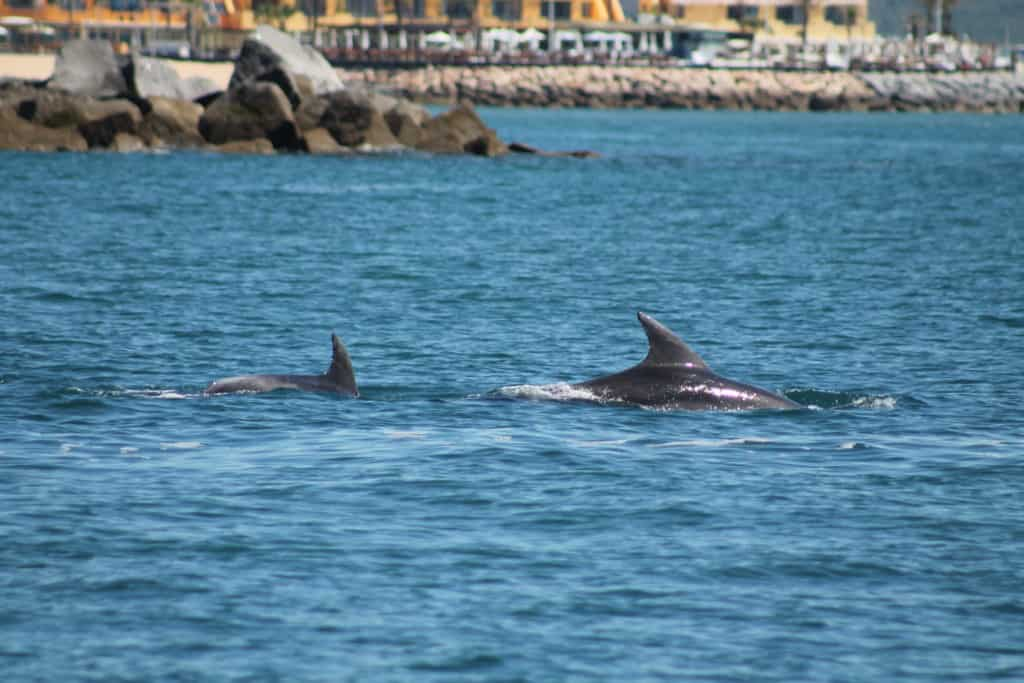 dolphins in Portimão