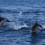 2 dolphins in the wild near Ferragudo