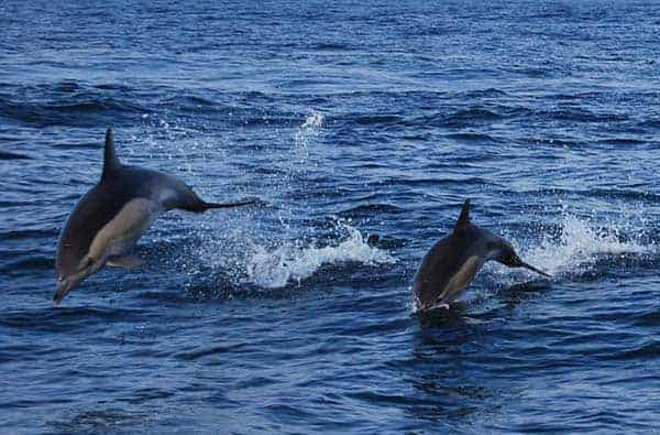 two dolphins jumping out of the water - Algarve