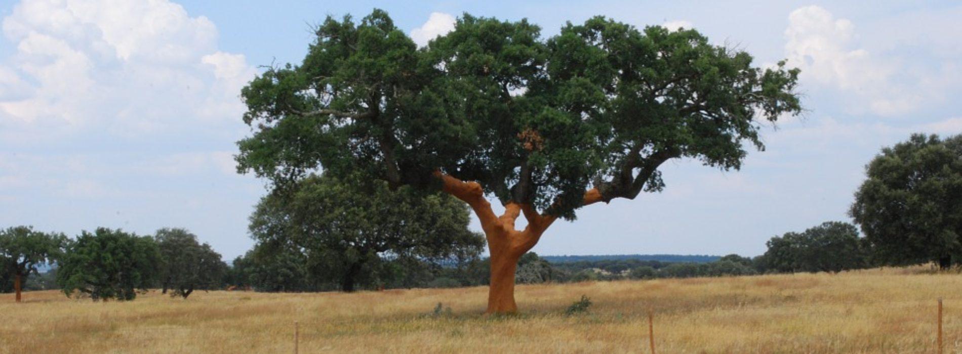 Sobreiro Agroportal Pixabay 1900x700 C