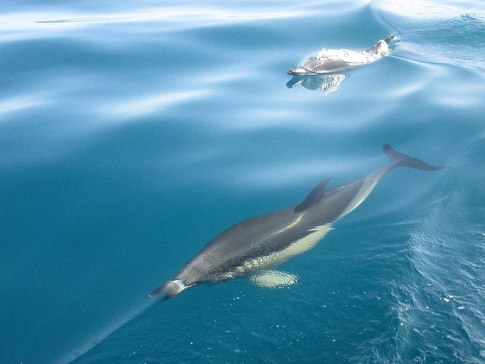 dois golfinhos ruazes nas águas azuis do oceano