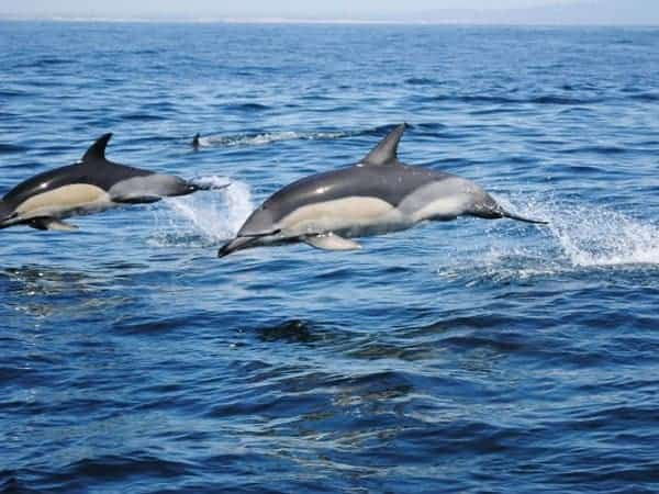 Two dolphins jumping.