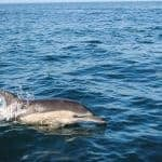Single dolphin swimming near Lagos