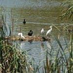 White and Black birds on mini island, in Ria Formosa.