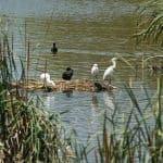Pássaros brancos e pretos na ria formosa, pousados.