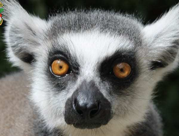 One of the Krazy World Lemurs