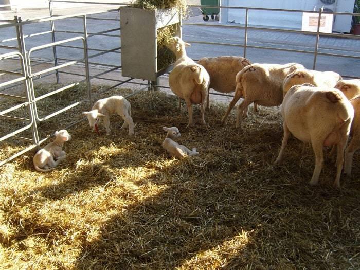 Moutons et Agneaux au Fatacil