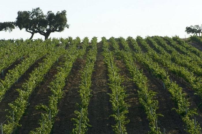 plantación de viñas en Herdade da Malhadinha Nova