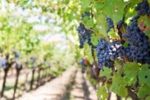Purple Grapes vineyard